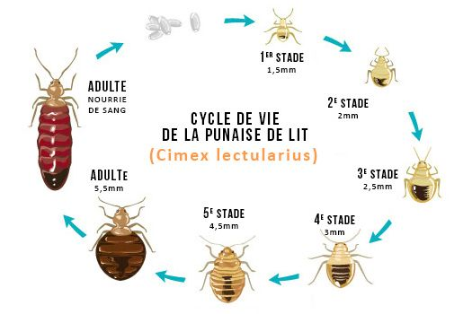 cycle biologique des punaises de lit